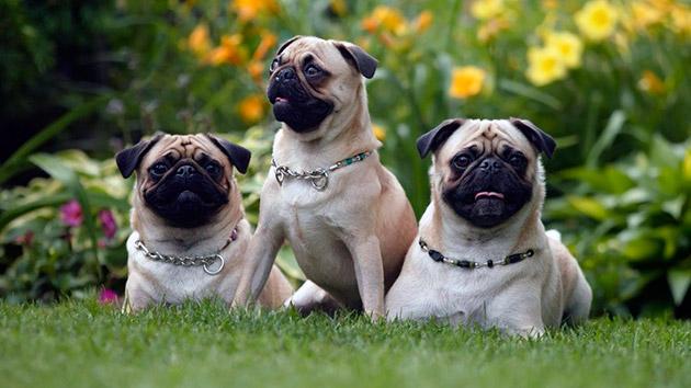 Лучшей профилактикой энцефалита является покупка щенков у официальных заводчиков, так как там можно проследить родословную и болезни родителей щенка