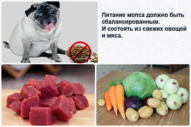 Питание мопса должно быть сбалансировано, тогда проблем с ожирением у питомца не будет
