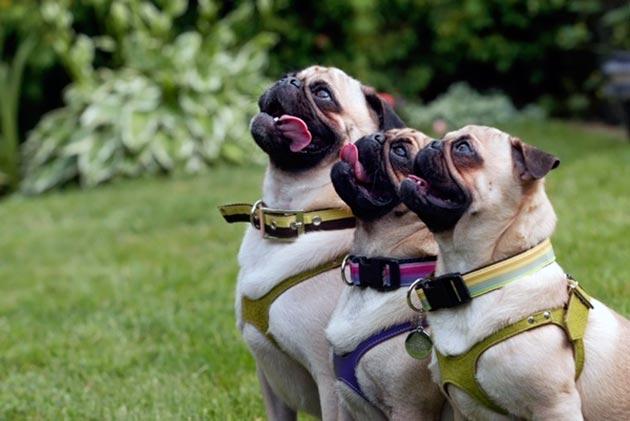 Как дрессировать щенка мопса в домашних условиях