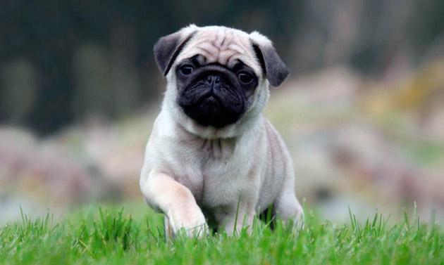 Если брать историю происхождения мопсов в различных странах, огромной популярностью эта собака пользуется в Белоруссии