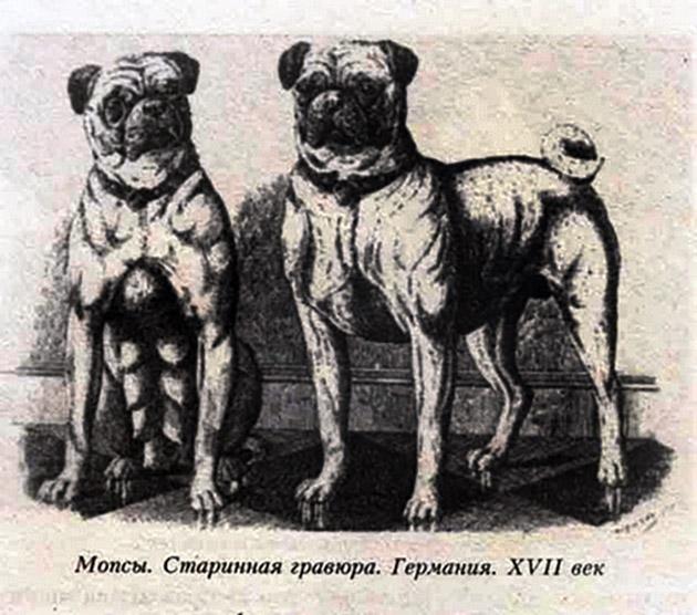 Мопс - декоративная порода собак