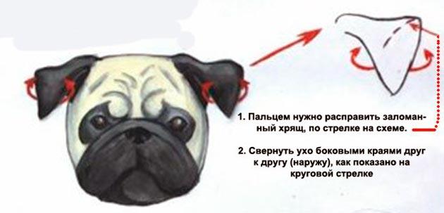 При корректировки ушей мопса каждую неделю необходимо удалять пластырь и давать ушкам отдохнуть, после чего вновь надевать