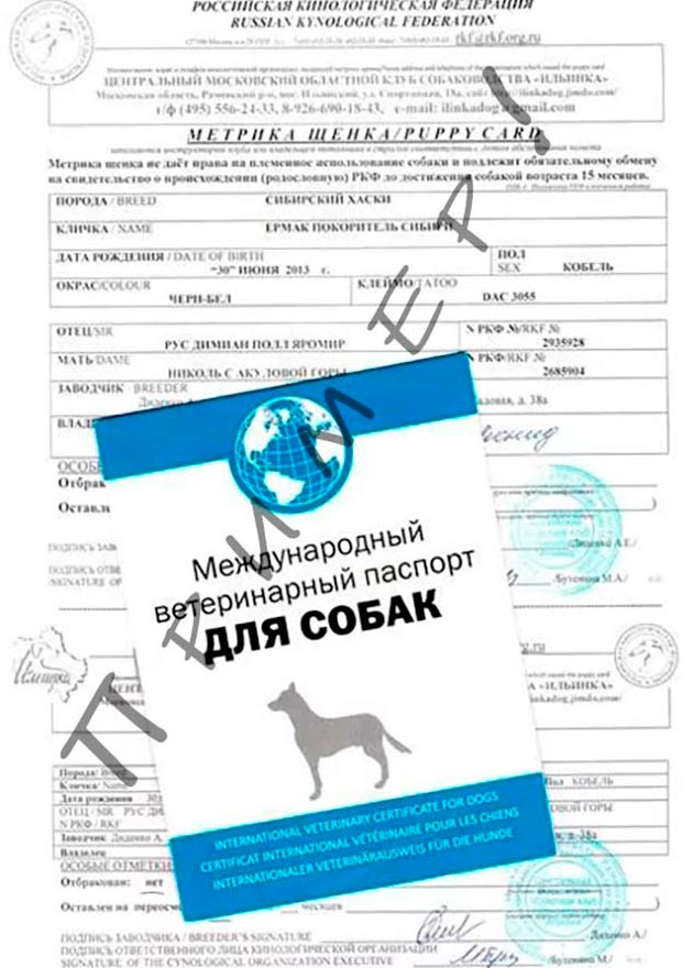 Если вы покупаете щенка в питомнике, вам должны дать вместе с мопсом метрику щенка и паспорт для собак