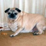 Ожирение у мопсов