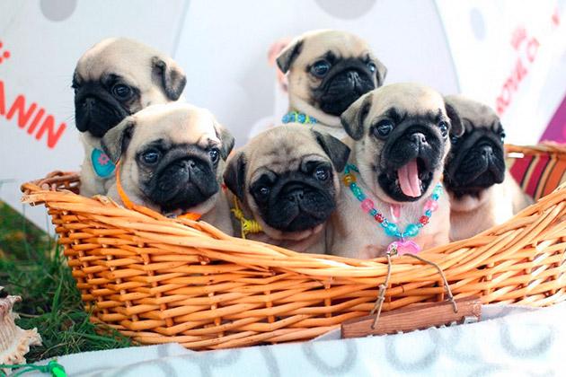 Приобретать мопсов необходимо только у официальных заводчиков, цена таких собак будет в районе 30 тысяч рублей