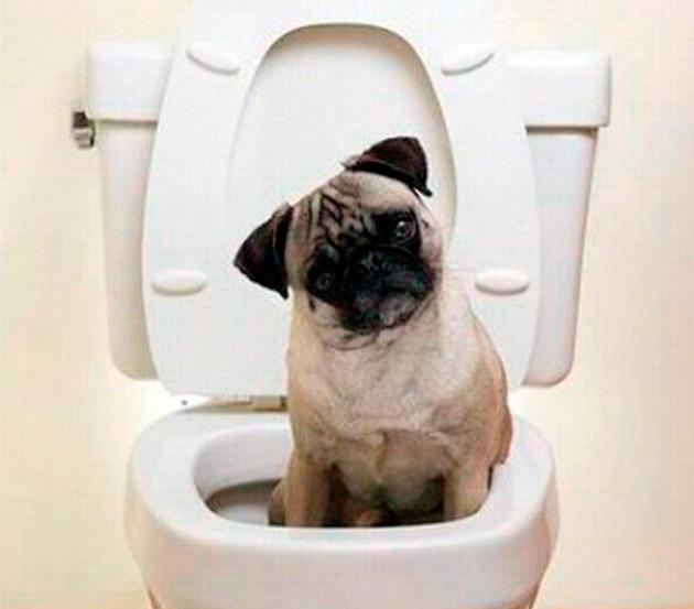 Приучаем мопса к туалету