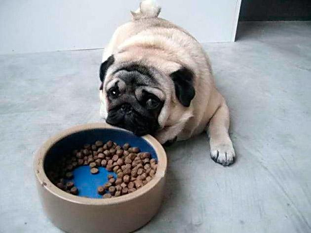 Взрослого мопса можно кормить кормить, как готовыми кормами, так и натуральной пищей, но предпочтение отдается натуральной
