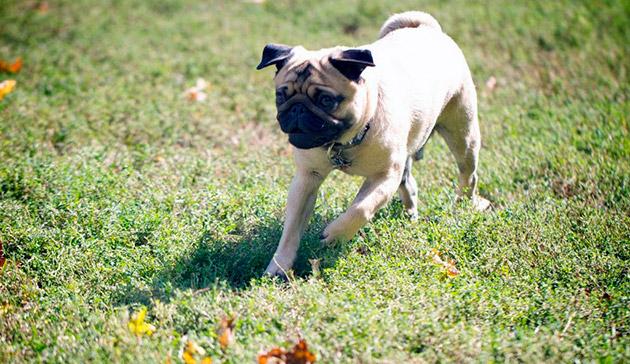 Несмотря на свою декоративность мопсы, эта порода собак очень активная и любит гулять
