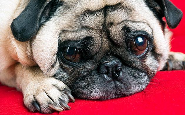 Узнать о наличие брахицефалического синдрома у вашего мопсика можно во время прохождения планового осмотра