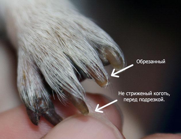 Обычно стрижку ногтей проводят раз в 2-4 недели, в зависимости от интенсивности роста ноготков