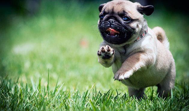 Выгуливать щенка мопса следует только после того, как ему будут сделаны все необходимые прививки